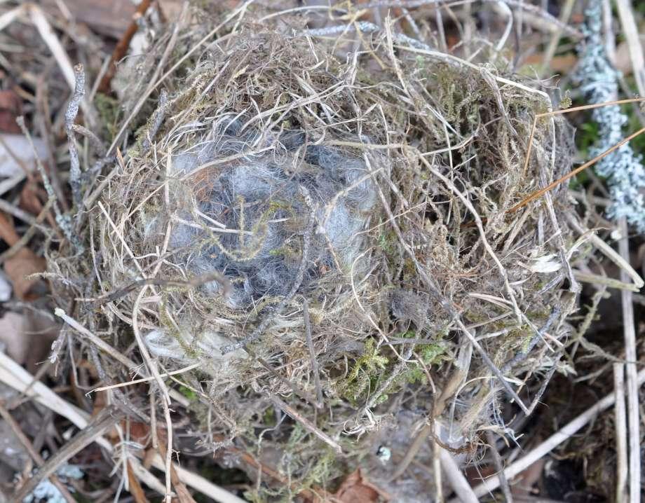 fågelboet är fodrat med fårull från bobunten