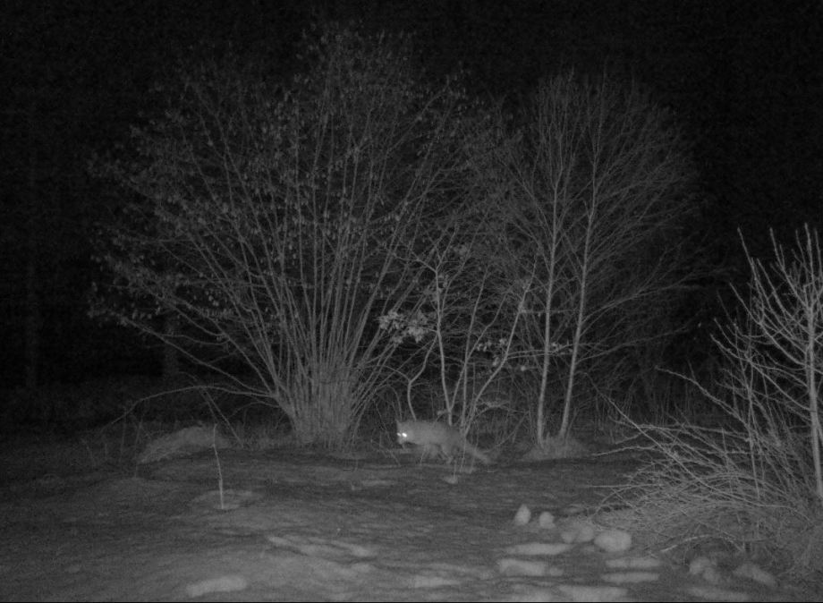 nattbild på räv som går i slänten framför hasselbusken
