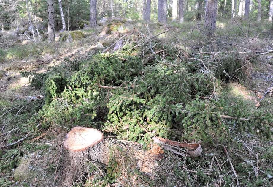 stubbe och granris i skogen