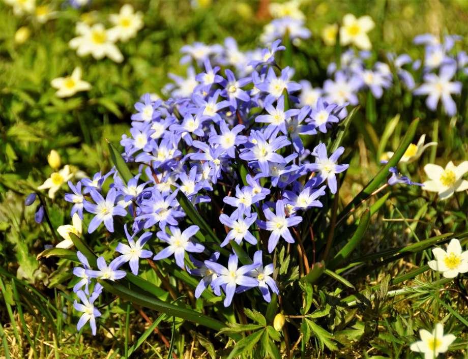 en grupp vårstjärnor blommar bland vitsipporna