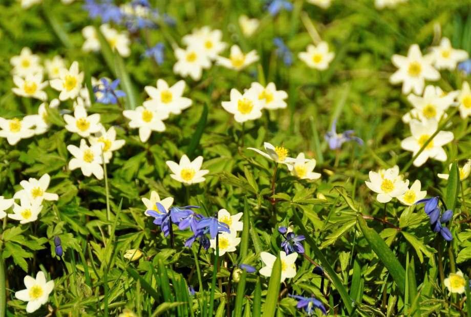 blommande scilla bland vitsipporna