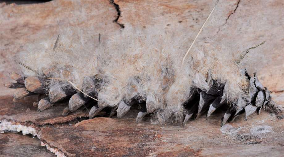 fluffiga fröparasoll nedtryckta mellan fjällen på en kotte för att hålla dem på plats