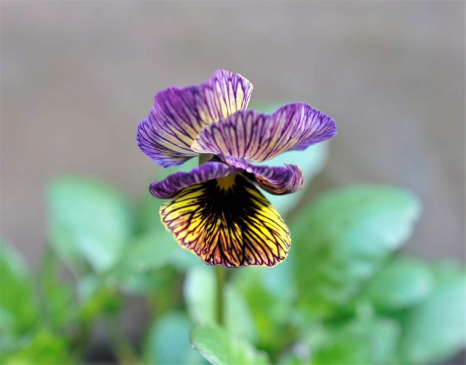 tiger eye viola vith purple and yellow petals