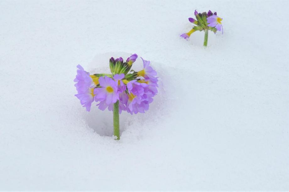 bollviveblommor sticker upp ur snön