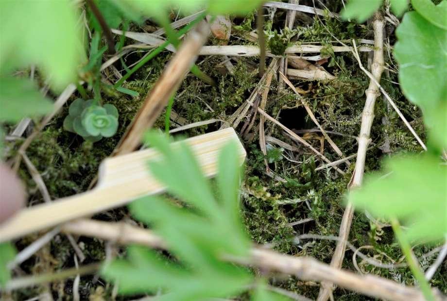 en blompinne pekar ut det lilla runda hålet i mossan som är ingången till humleboet