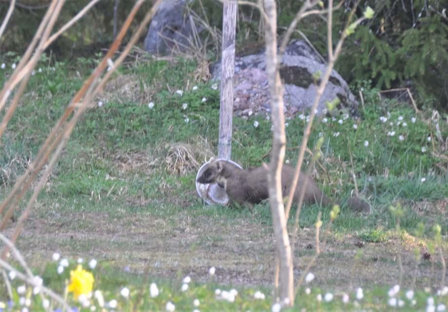 en skogsmård står i profil framför kakformen som innehåller fågelmat