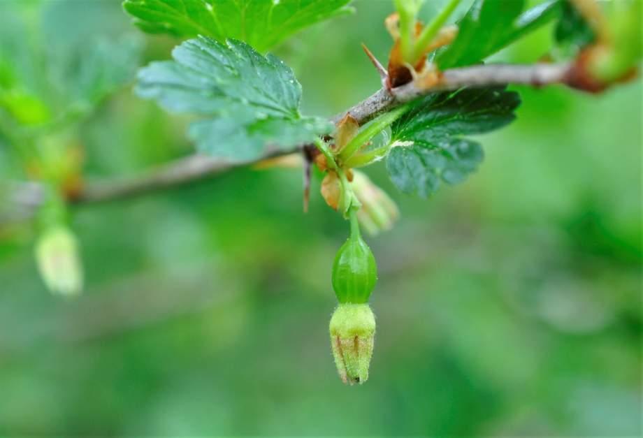 ett väldigt litet, grönt krusbärskart på en kvist