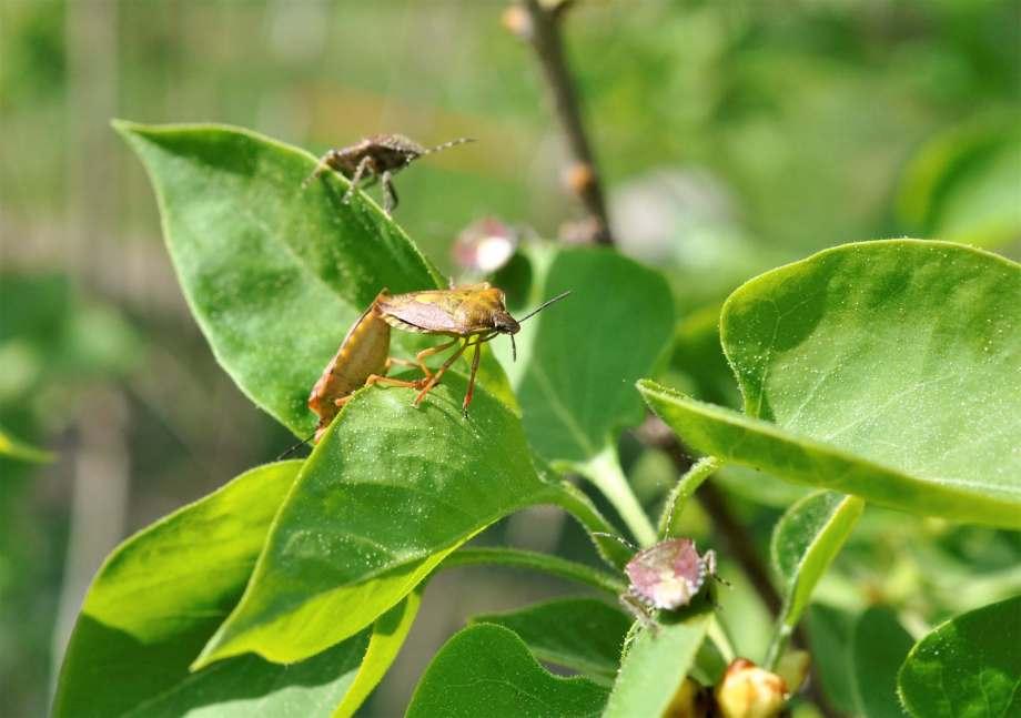 fem purpurskinnbaggar i en syren. Två av baggarna parar sig.