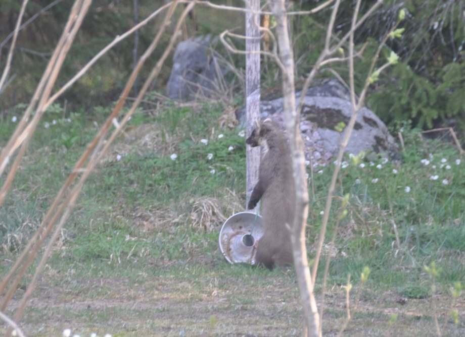 skogsmård sitter upprätt på bakbenen framför kakformen som innehåller rester av fågelmat