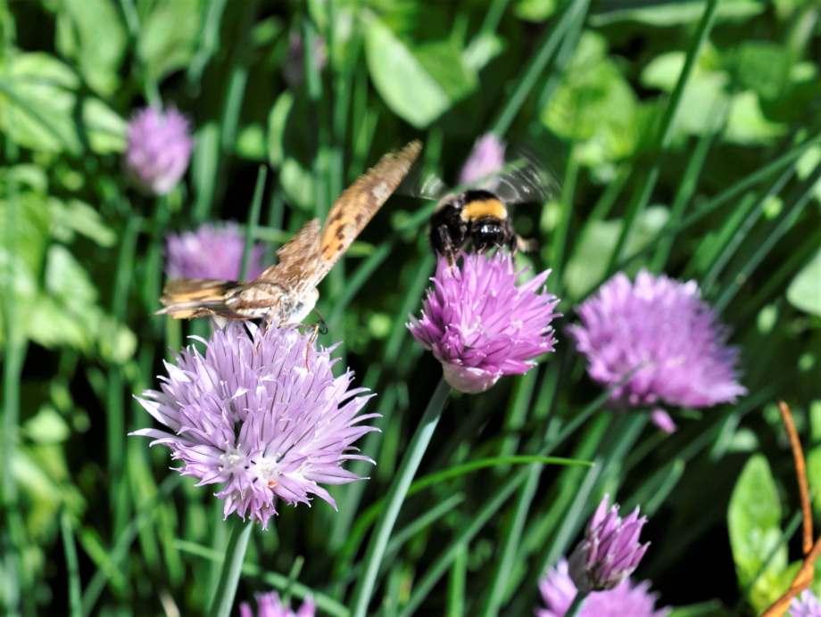 gräslöksblommor med en fjäril som sitter och sörplar nektar och en humla som precis landar