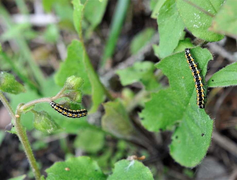 larver som sitter på välgnagda blad. De har ett tjockt svart band längsmed ryggen och vita och orange prickar på sidorna.