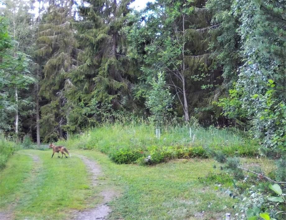 rävhona sneddar över skogsvägen. hon är väldigt slank i sin sommarpäls