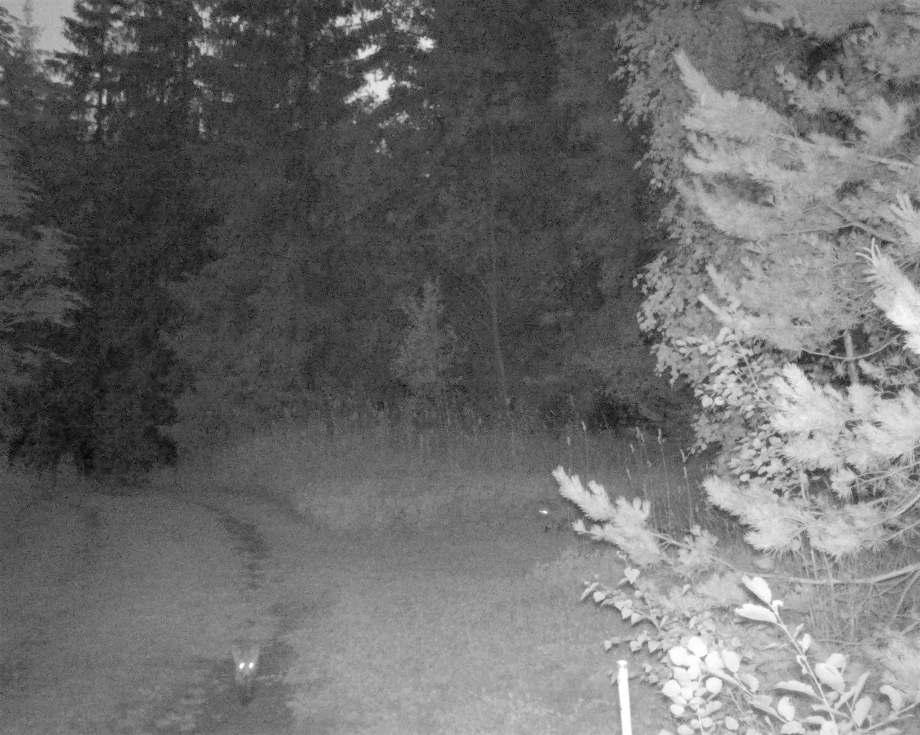 nattbild på två rävungar. en tittar mot kameran den andra kommer smygande i bakgrunden, från skogsbrynet