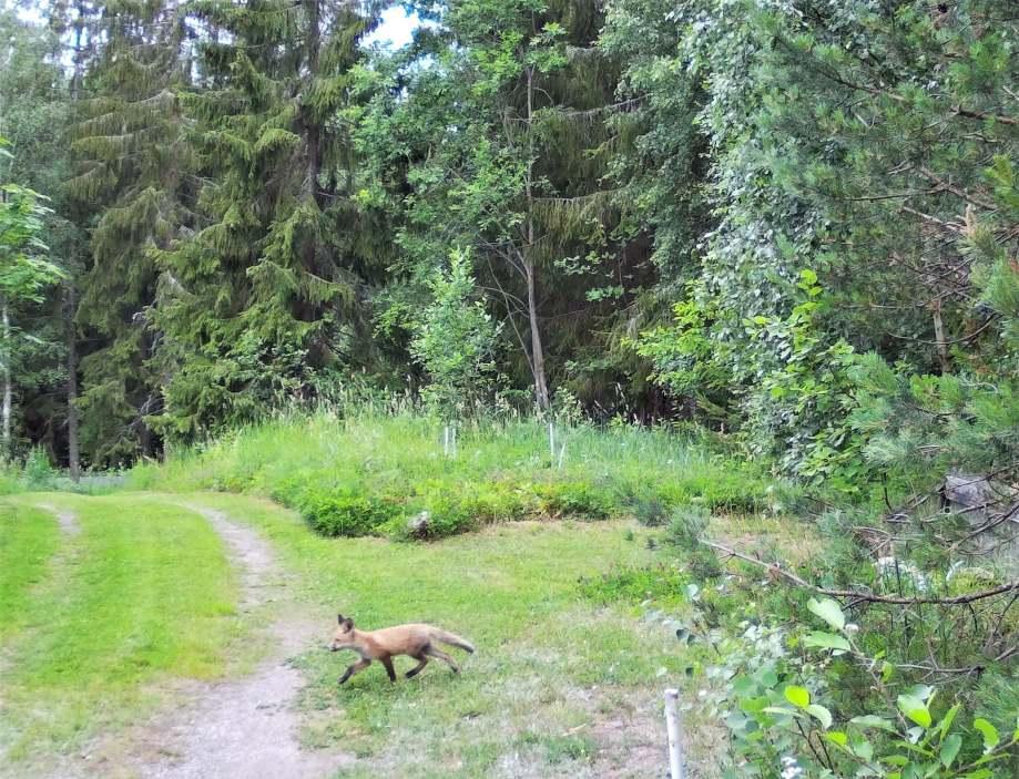 rävunge travar över skogsvägen i dagsljus. öronen piggt framåt.
