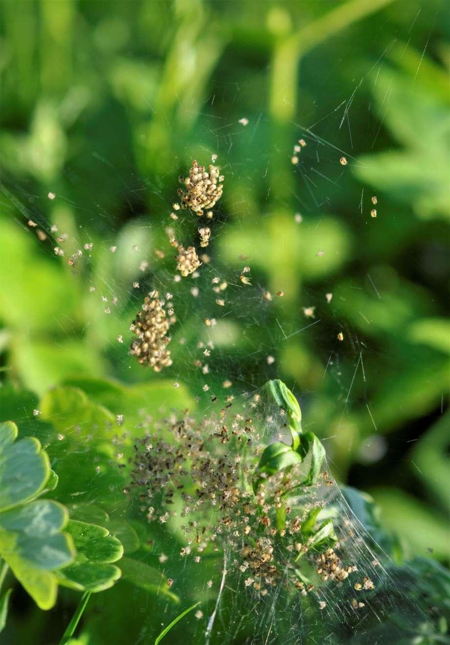 en mängd små ljusbruna spindelbebisar i ett nät