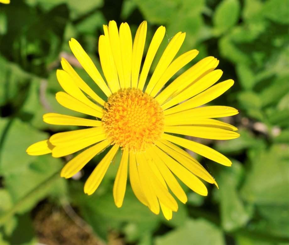 blomma av vårkrage - knallgul med många smala kronblad.