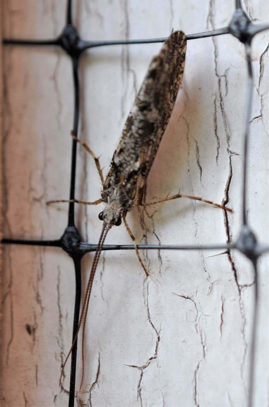 en nattslända sitter på väggen. den har brunbrokiga vingar, svarta små pepparkornsögon och väldigt långa antenner som pekar rakt fram.