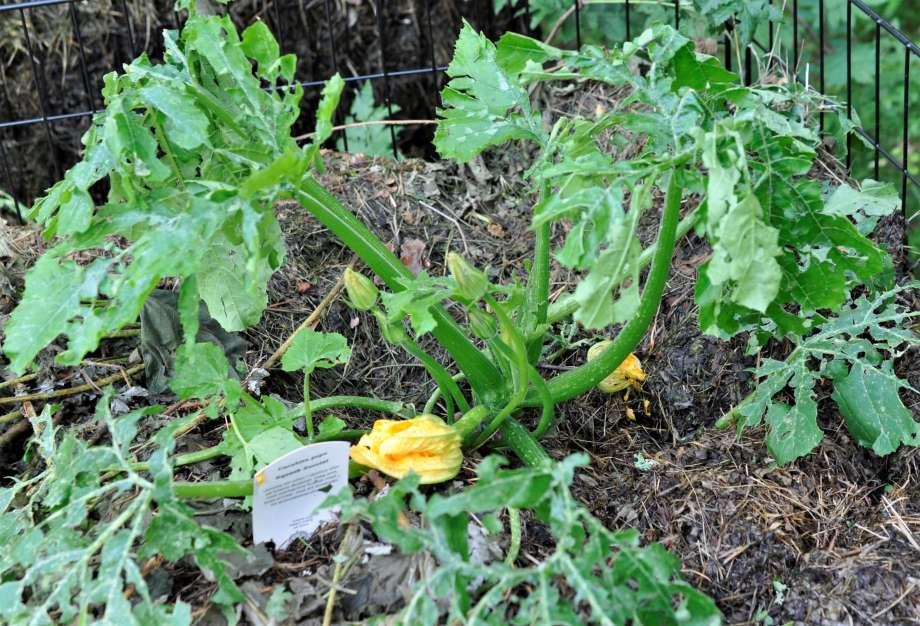 squashplantan som är planterad i komposten har fått söndertrasade blad, det är nästan bara bladnerverna som återstår, men har också fyra tre blomknoppar och en blomma.