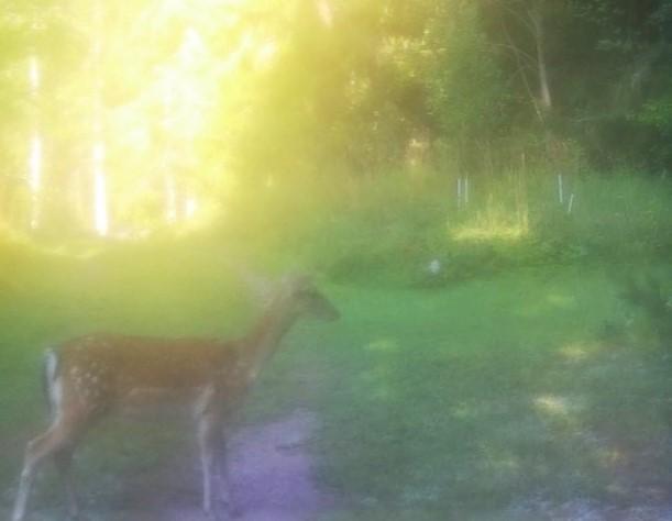 dovhjortshind står på helspänn i morgonljuset med sidan mot kameran och blicken riktad framåt