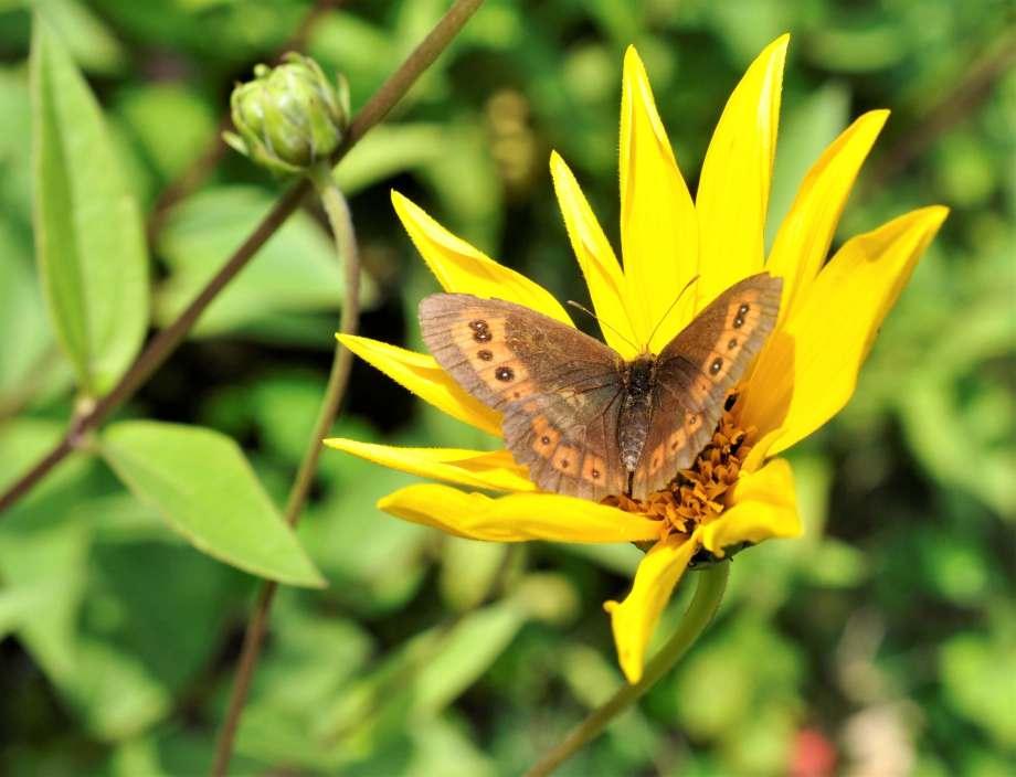 gräsfjäril sitter med utslagna vingar i en blommande höstrudbeckia