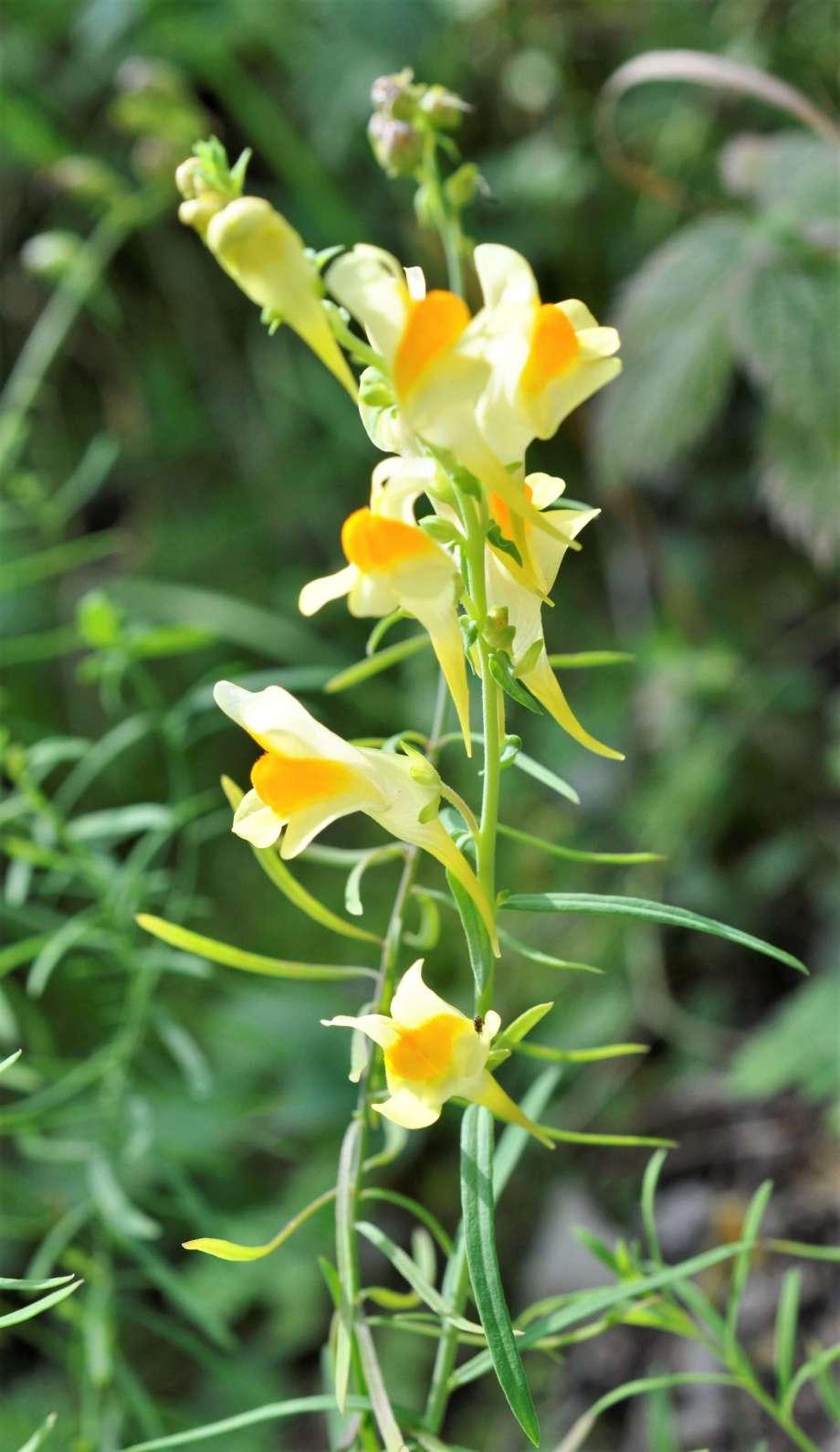 gulsporre med blommorna i tät klase