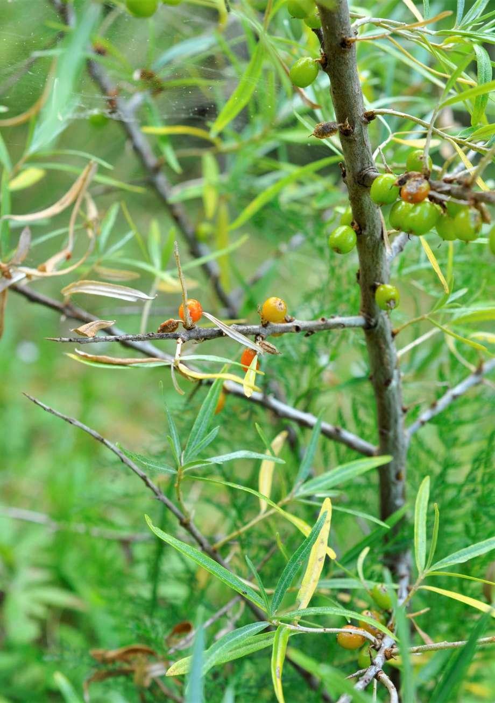 gröna och orange havtornsbär sitter på kvistarna och stammen