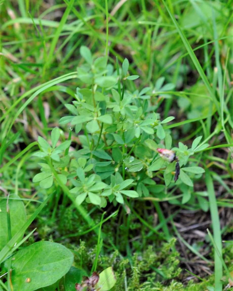 liten, kompakt käringtand utan blommor, i kort gräs
