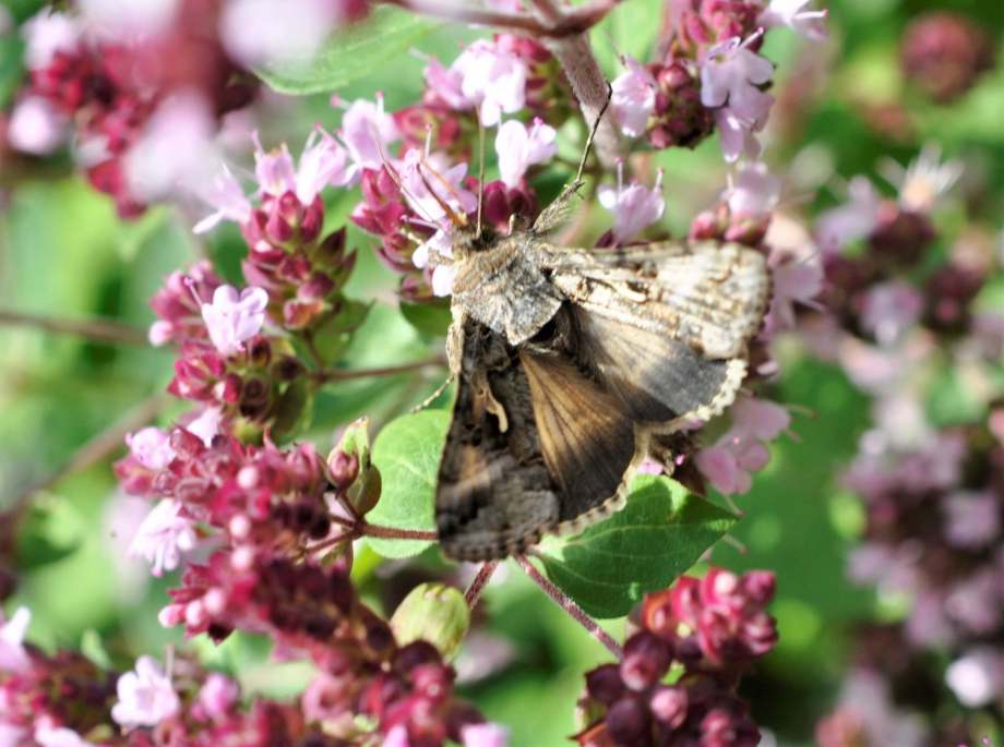 ett långfläckat metallfly sitter på kungsmyntans blommor. vingarna är halft utfällda, vackert tecknade i olika nyanser av ljusgrått och brunt.