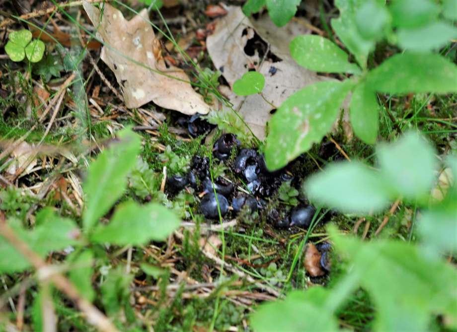 musgnagda blåbär ligger i en liten hög i mossan tillsammans med torra blad och granbarr