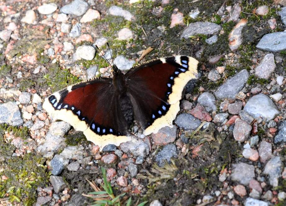 sorgmantel sitter med utfällda vingar på en grusig väg