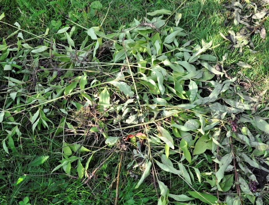 upprivna plantor ligger kors och tvärs på gräsmatan