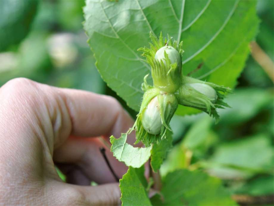 en hand håller upp tre gröna hasselnötter fortfarande kvar i sina hyllen på kvisten