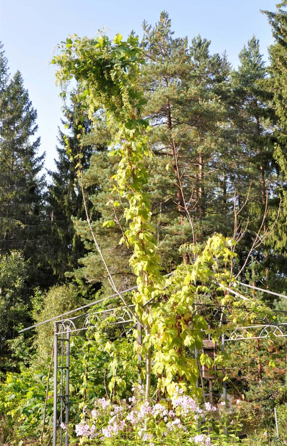 grenen vid pergolan är nu helt täckt av humlen, som en midsommarstång