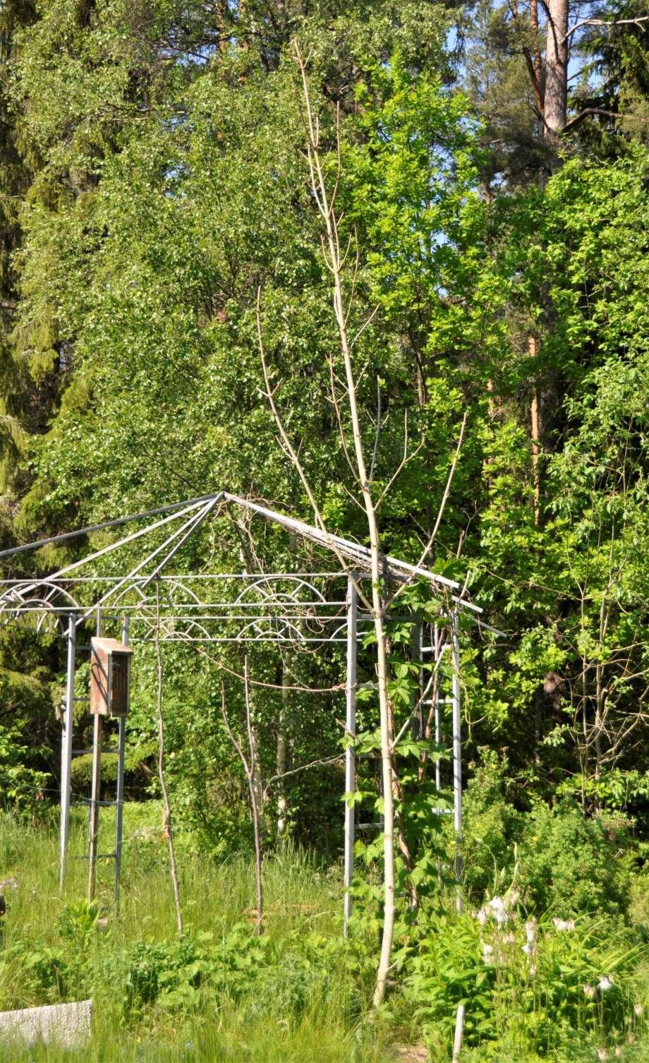 lång gren pekar rakt upp mot himlen. den är fastsatt i kanten av pergolan. runt basen av grenen slingrar sig humlen.