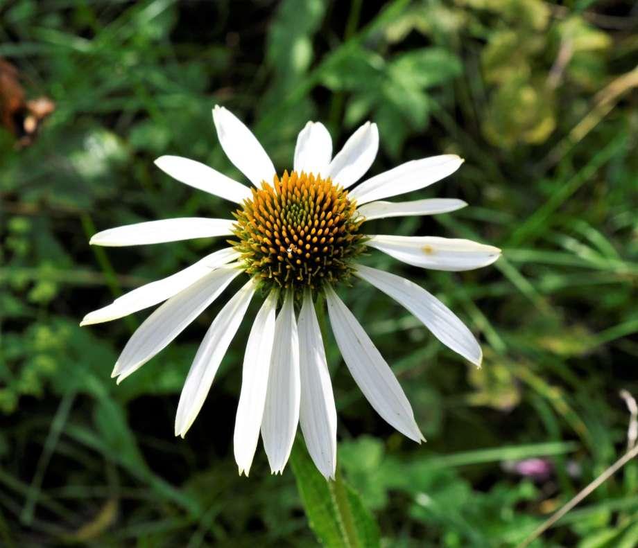 blomma av vit solhatt med smala kronblad