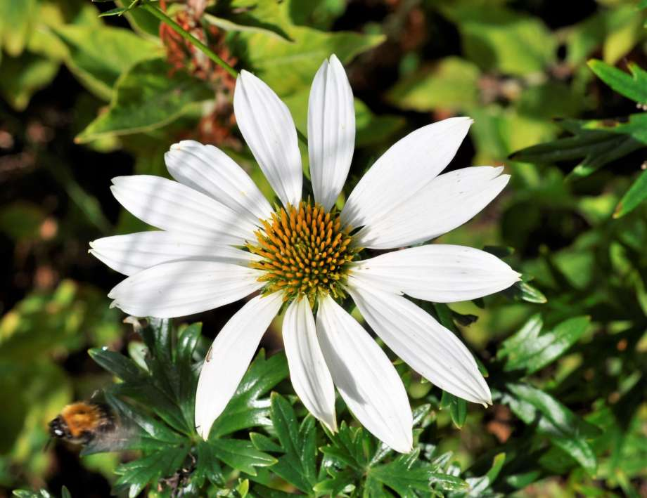 vit solhattsblomma med breda kronblad