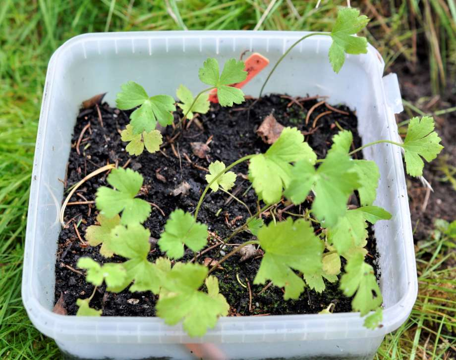 småplantor av bäckanemon i en plastbunke
