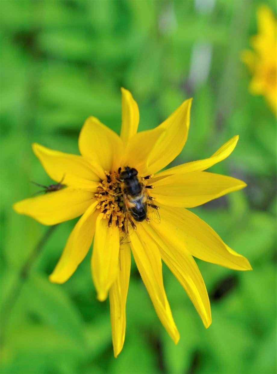 en stor blomfluga sitter mitt i höstrudbeckians blomkorg. bakom ett blomblad skymtar en liten spindel