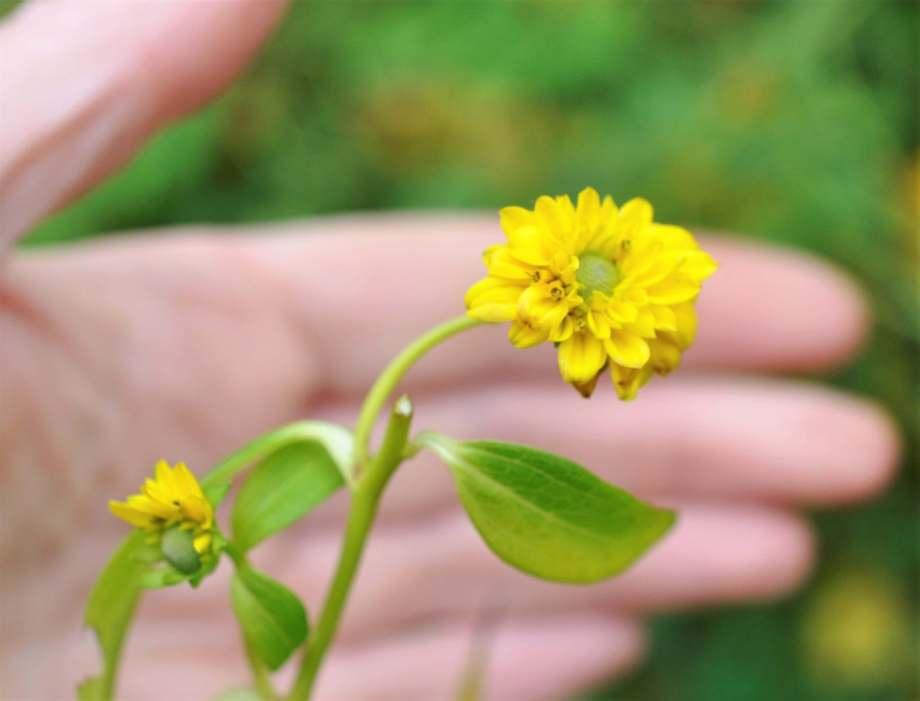 små mini-blommor växer på gullbollens stjälk, i bakgrunden en hand