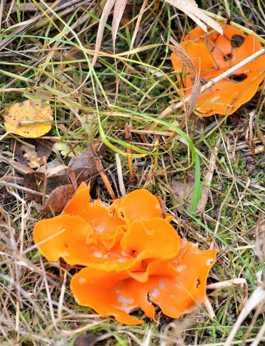 två orange skålsvampar (