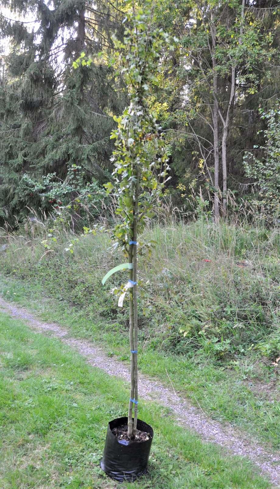 rundhagtornsträd i kruka, grenarna ihopbundna, krukan står på gräs, skogsbryn i bakgrunden
