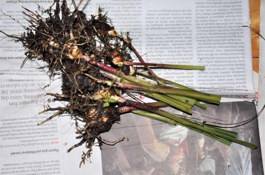 jordiga doftliljeknölar med avklippta stjälkar är utlagda till tork på tidningspapper