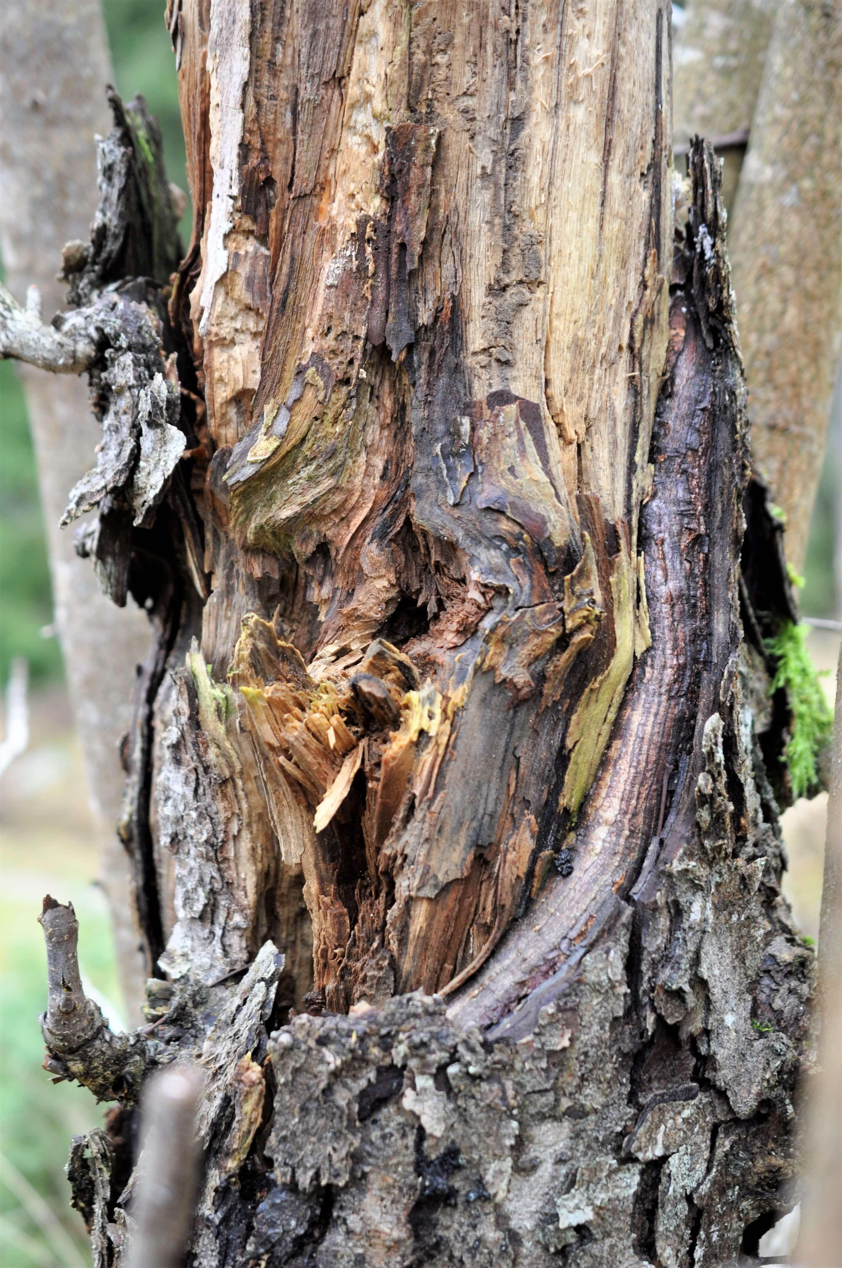 håligt, halvmurket träd med bark som lossnat