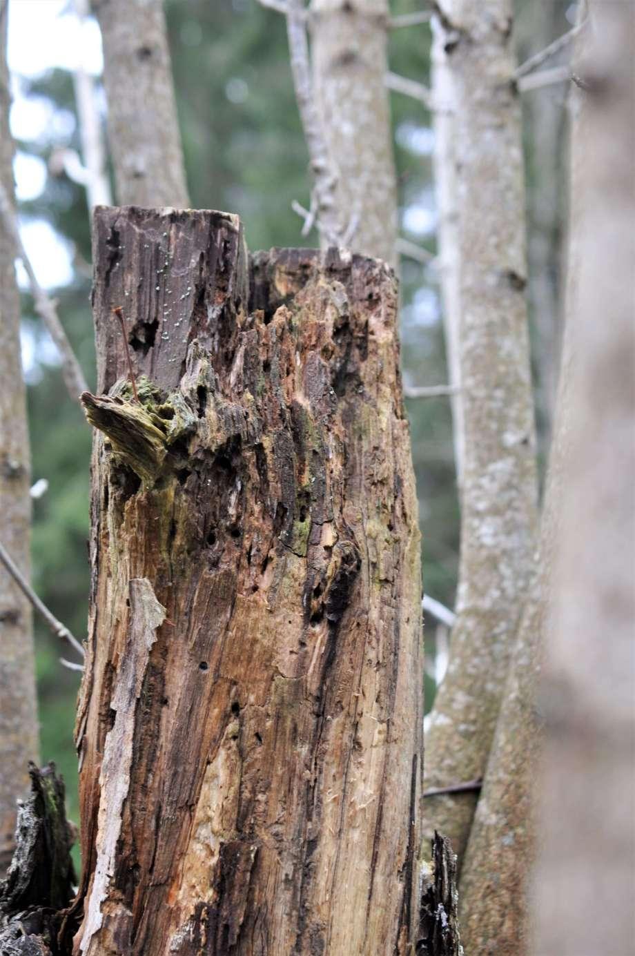 murken högstubbe omgiven av friska grenar