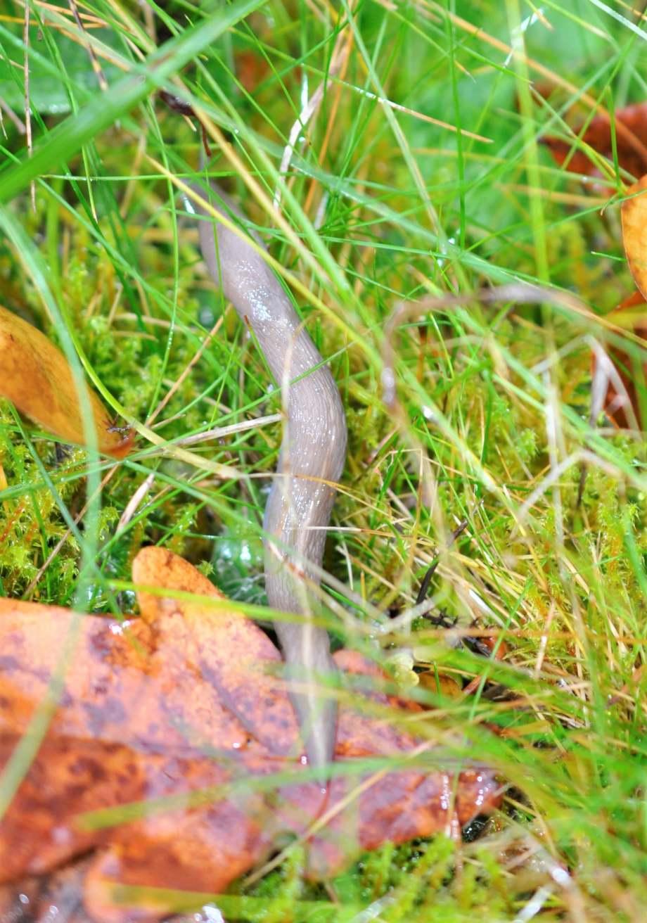 en ljusgrå snigel i gräs och höstlöv