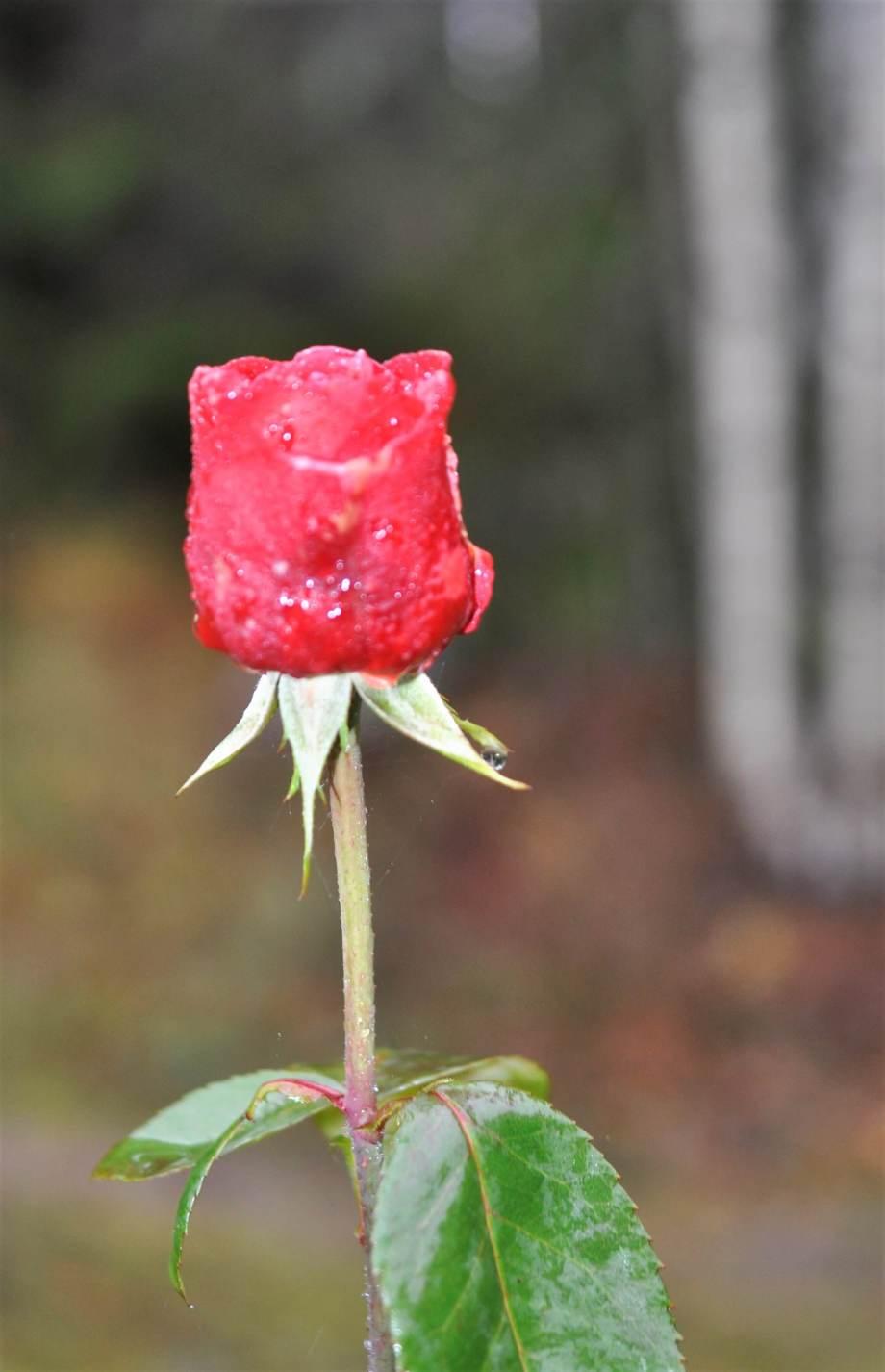 en stor röd rosenknopp med frostskador på blombladen