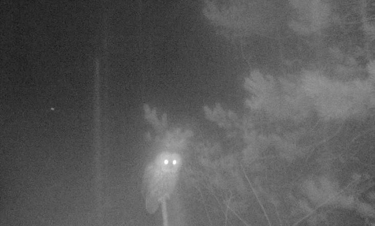 pärluggla sitter på pinne och tittar in i kameran