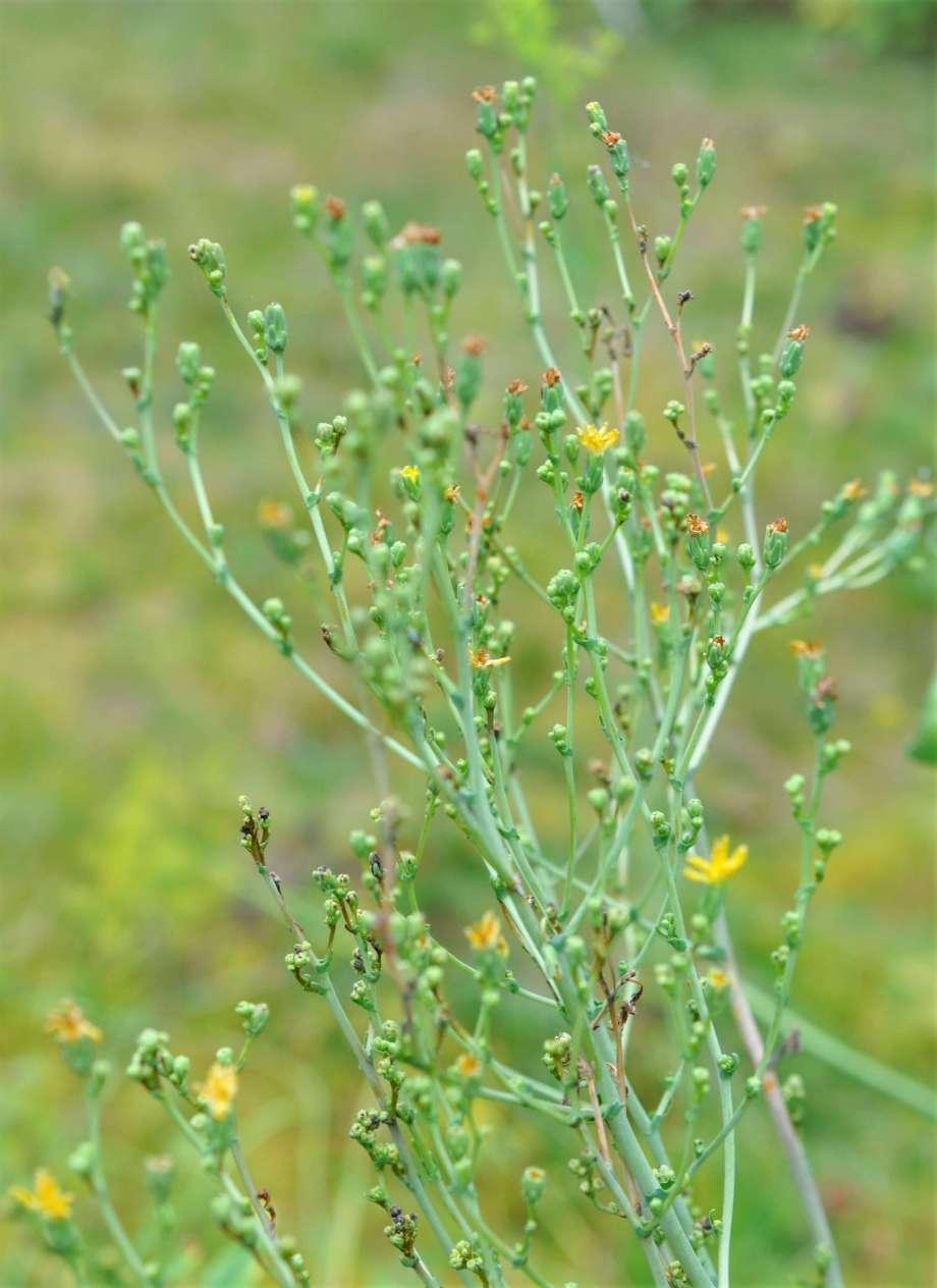 blomställning av vanlig sallad - långa smala stjälkar och små gula blommor i topparna