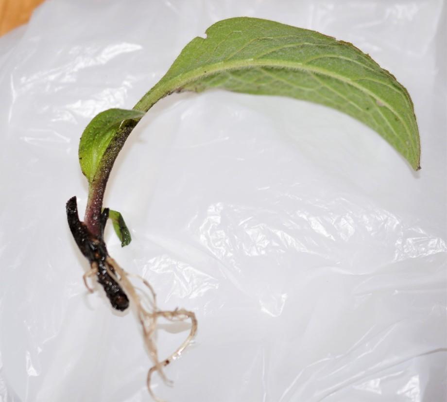 vallörtsstickling med ett stort blad och nya röttet ligger ovanpå en vit plastpåse