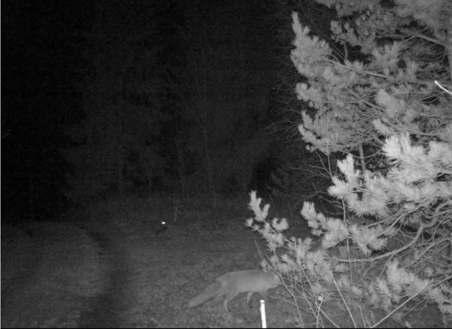 nattbild. räv passerar framför kameran. huvudet skyms av tallgrenar.